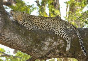 zambia-safari