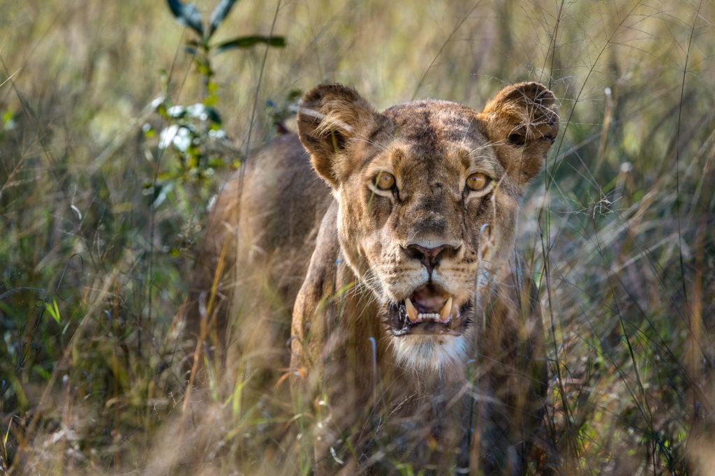 Little-Makalolo-Lion