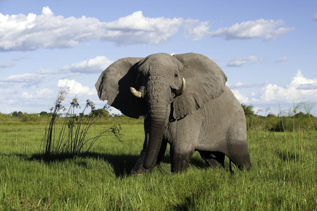 Moremi-Game-Reserve-Mombo-Elephant