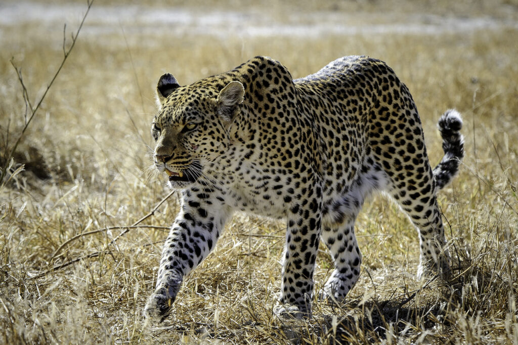 Moremi-Game-Reserve-Mombo-Leopard.