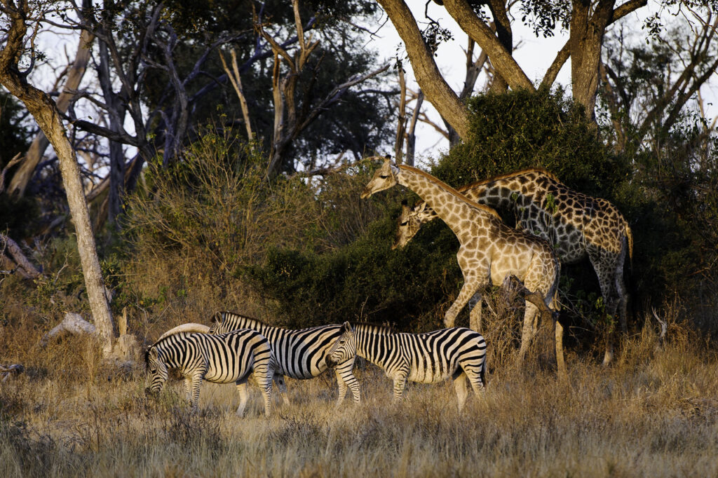 Moremi-Game-Reserve-Mombo-Wildlife