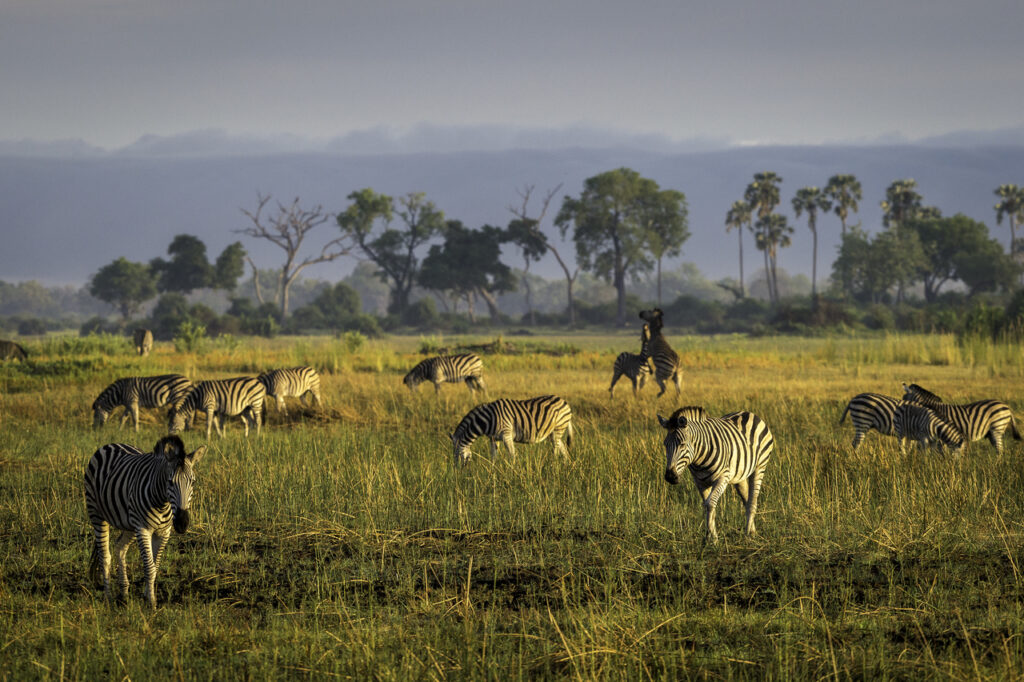 Moremi-Game-Reserve-Mombo-Zebra