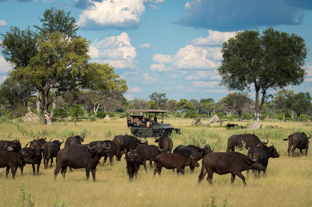 little-vumbura-game-drive-buffalo