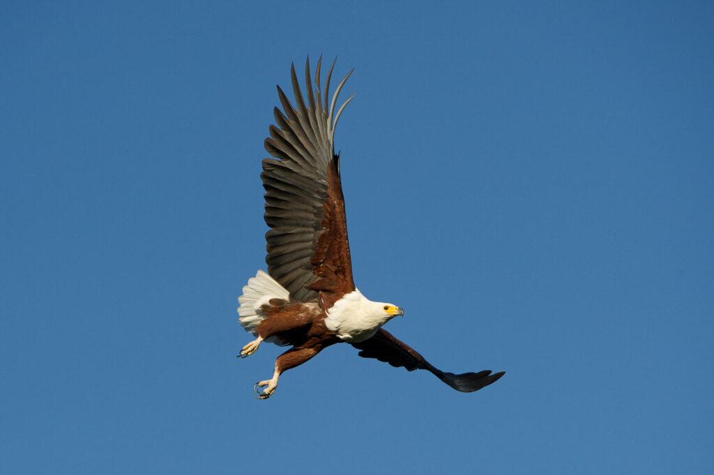 magashi-fish-eagle